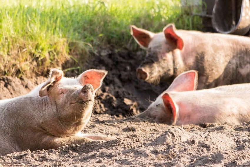 HARTA. Situatia Pestei Porcine in Romania. Peste doua mii de focare, stinse