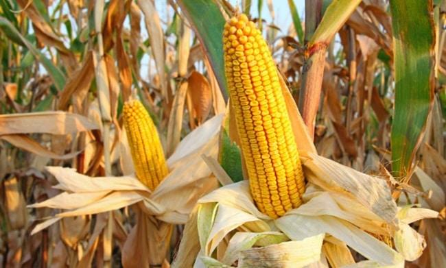 Fermierii ieseni, disperati! Daunatorii le distrug culturile, solutiile lipsesc