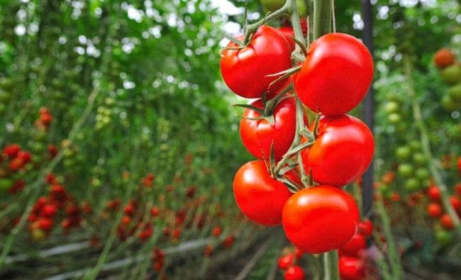Discutie privind valoarea ajutoarelor De Minimis pentru tomatele cultivate in sere, in anul 2020