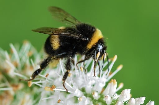 Bondarii, buni la polenizare, dar si in combaterea daunatorilor