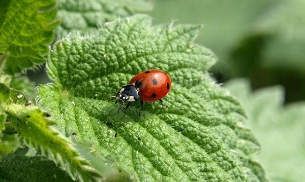 Buburuzele, insectele MINUNE pentru gradina. Afla cum le atragi!