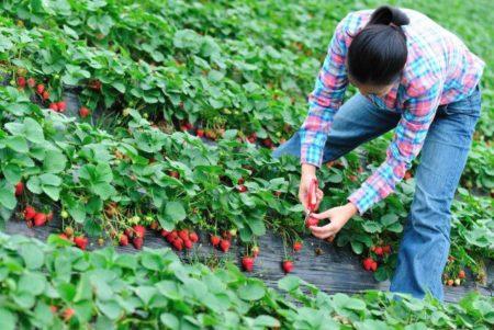 Tinerii vor sa faca agricultura! Afacerile cu fructe de padure au luat amploare in pandemie