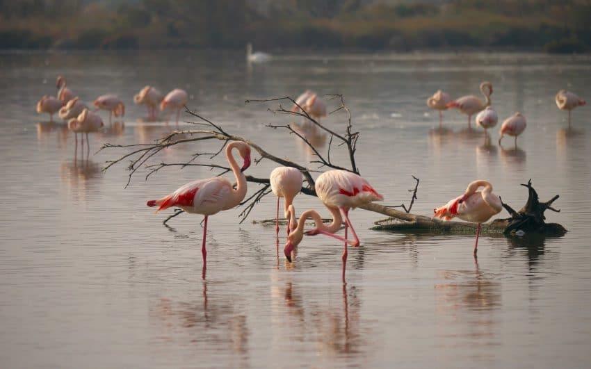 VIDEO. Incredibil! Un grup de pasari flamingo roz, in Delta Dunarii