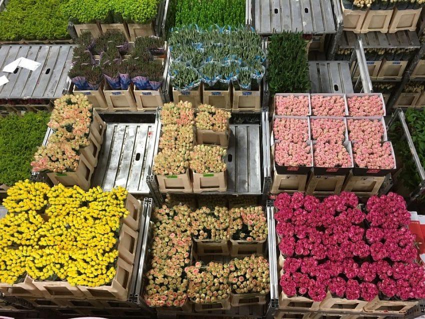 Exporturile de flori olandeze sunt GRAV afectate de criza COVID-19
