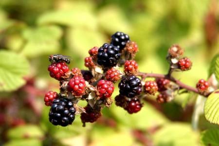 VIDEO Conditiile meteo ne lasa fara fructe de padure anul acesta