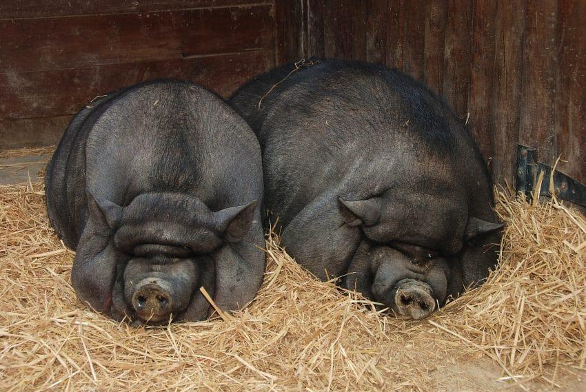 O afacere fara colesterol! Specia de porci cu cea mai sanatoasa carne