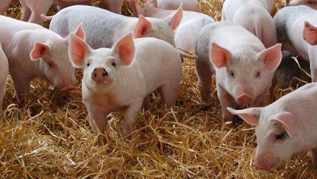 ANSVSA: au fost inregistrate 15 focare noi de Pesta Porcina Africana. HARTA