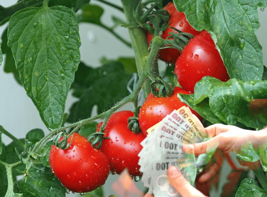Deputat: Cine va plati pentru esecul Programului Tomata?