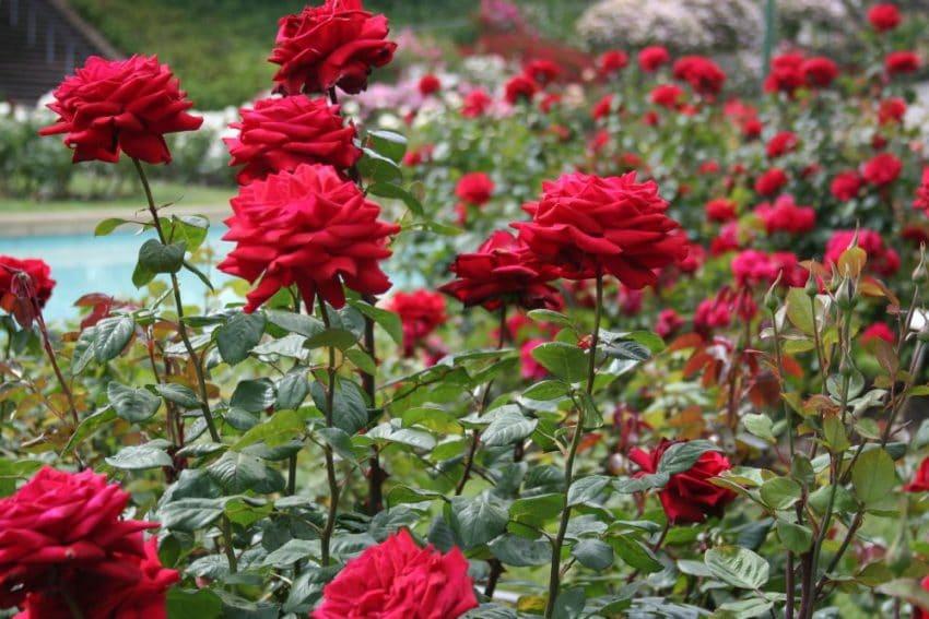 Cum ingrijim trandafirii – tratamente si lucrari de intretinere