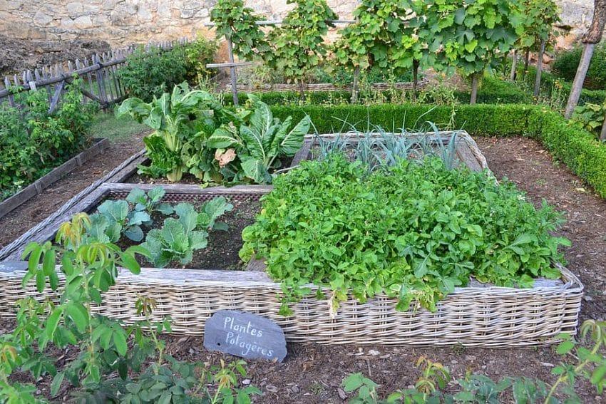 BINE DE STIUT! Plantele care reduc insectele daunatoare si bolile la legume