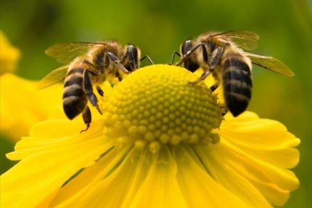 De ce este in declin populatia albinelor si a altor polenizatori?