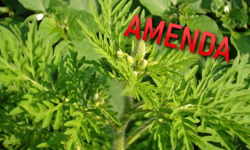 Legea ambroziei: AMENZI mai MARI pentru cei care nu o distrug. CONTROALE IN TEREN
