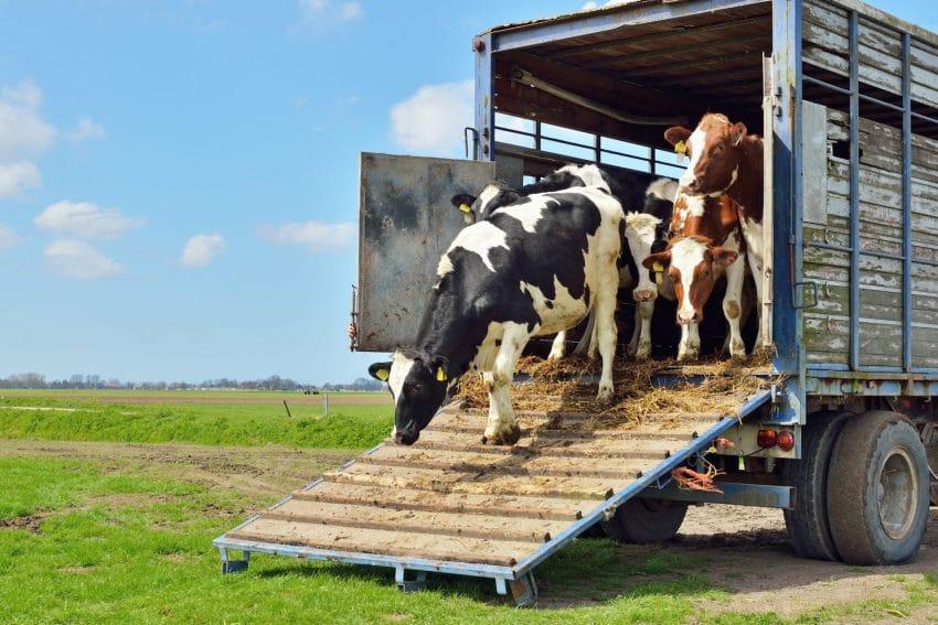Transport ilegal de vaci, confiscat de politie! Zeci de animale UCISE
