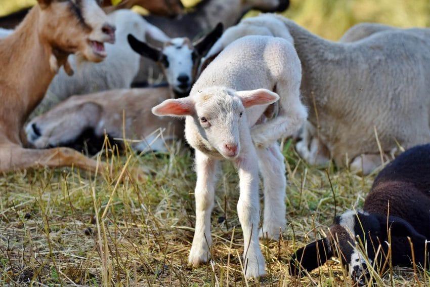 Testele pentru scrapie la ovine si caprine vor fi gratuite