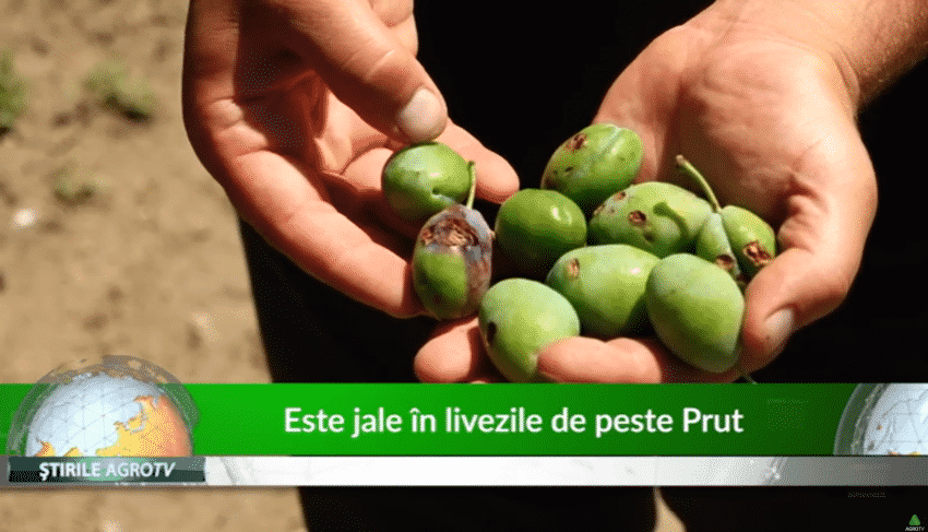 VIDEO. Este jale in livezile de peste Prut
