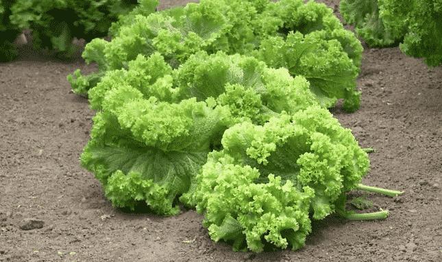 Idee de afacere inedita! Infiintati o cultura unica in Romania, cultivand aceasta leguma