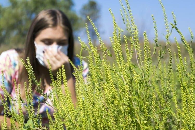 ATENTIE LA AMBROZIE! Sezonul alergiilor, mai periculos ca niciodata
