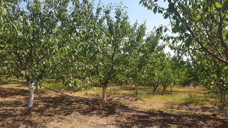 """Productii slabe de fructe in livezile buzoienilor: """"Doar le-am vazut si le-am gustat"""""""
