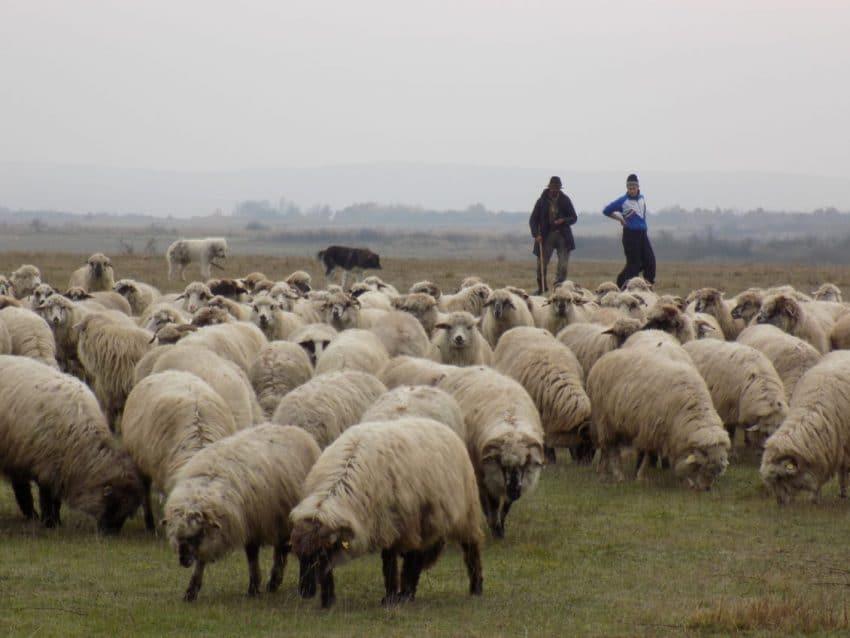 Subventia COVID-19 pentru crescatorii de ovine si caprine! Sumele anuntate de MADR