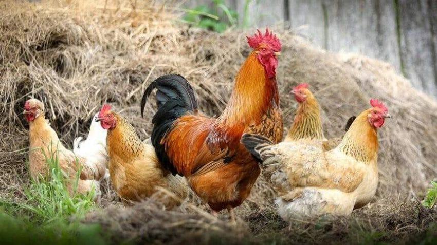 Sprijin pentru fermierii din sectorul avicol. Cuantumul ajutorului si conditiile