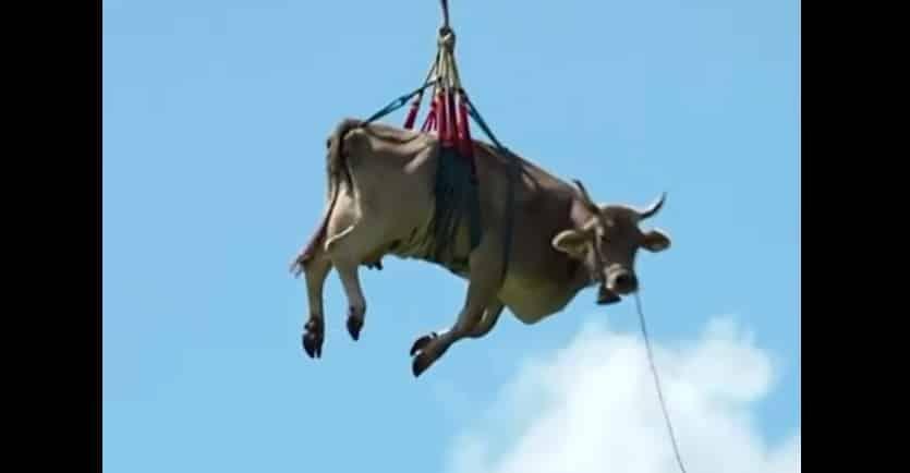 Cand o zbura… vaca! Un fermier si-a coborat animalul ranit de pe munte cu elicpoterul