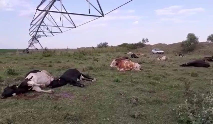 NECAZ la o ferma de animale! Proprietarul si-a gasit vacile moarte pe pasune