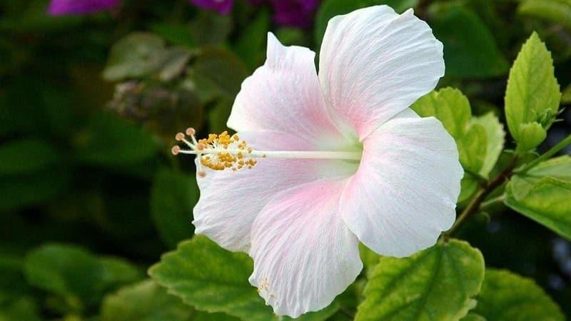 FARMACIA VERDE – Hibiscusul, floarea care iti regleaza digestia