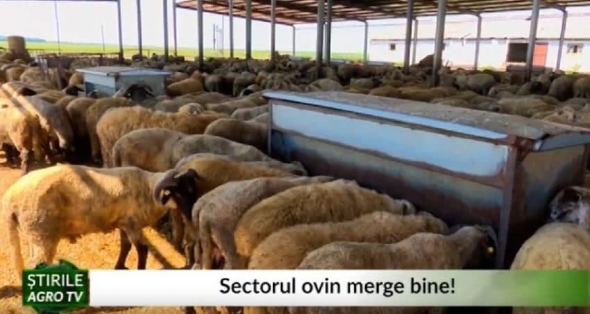 """VIDEO Sectorul ovin merge bine. Fermier: """"Pretul a fost mare si cererea pe masura"""""""