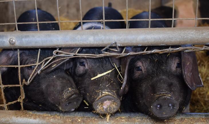 "Porci ""MASCAȚI"" vânduți ilegal!"