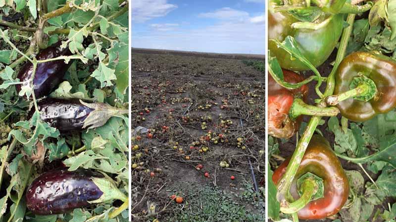 Zeci de hectare cultivate cu roșii, ardei și vinete, DISTRUSE de grindină
