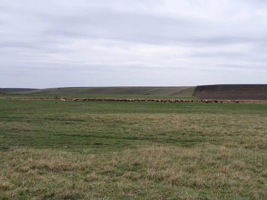 Scandal între fermieri și ciobani pe cultura de orz