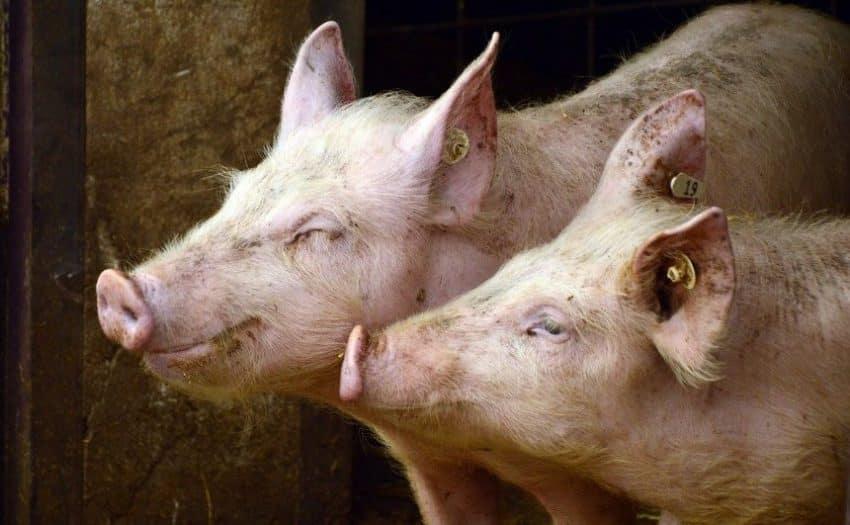 S-a confirmat existența unui nou focar de pestă porcină africană