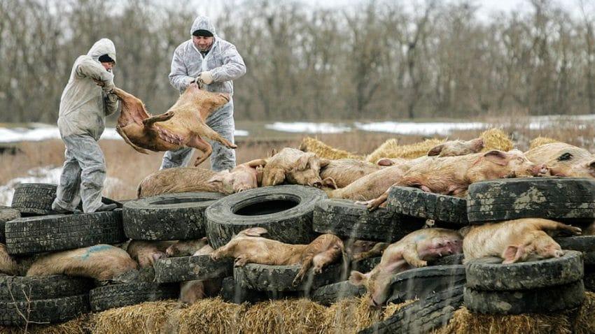 """Se înmulțesc focarele de pestă porcină! """"De luni vin să omoare toți porcii"""""""