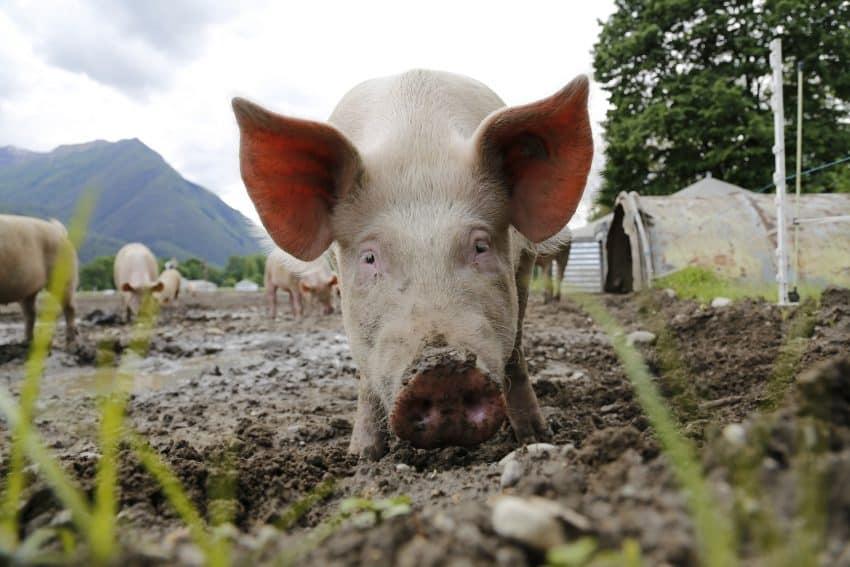 """Pesta porcină bântuie peste tot! """"Pădurile sunt pline de mistreți morți, o să rămânem fără porci în gospodării"""""""
