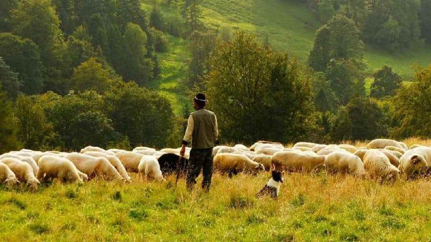 Nu avem cu cine… Crescătorii de ovine caută ciobani în țări străine