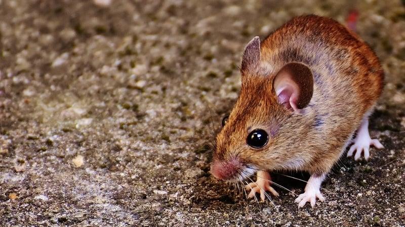 """Atac MASIV de șoareci în culturile agricole! Valeriu Tabără: """"Riscăm să rămânem fără grâu, rapiță și orz"""""""