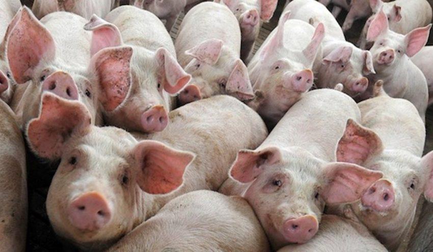 Actualizare PPA: aproape 200.000 de porci uciși în 2020 din cauza pestei porcine africane