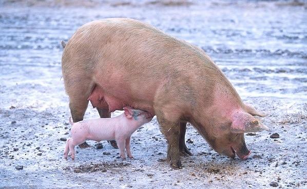 Ne îndopăm cu carne de porc din Germania (refuzată de chinezi) și exportăm în Marea Britanie