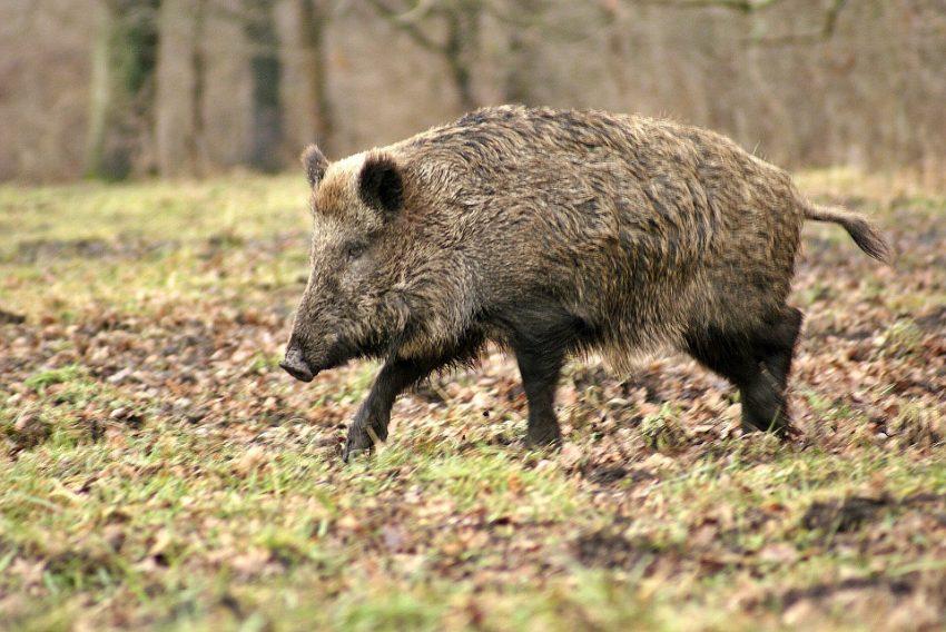 Un nou fond de vânătoare lovit de pesta porcină africană!