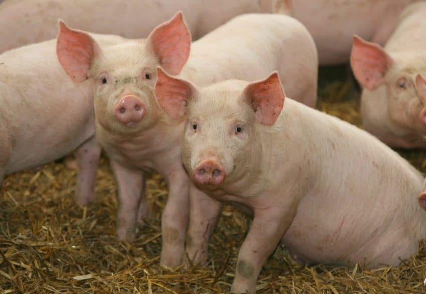 Încă un județ declară închise focarele de pestă porcină africană la porc domestic