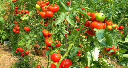 VIDEO Legumele care se pot cultiva iarna în sere și solarii