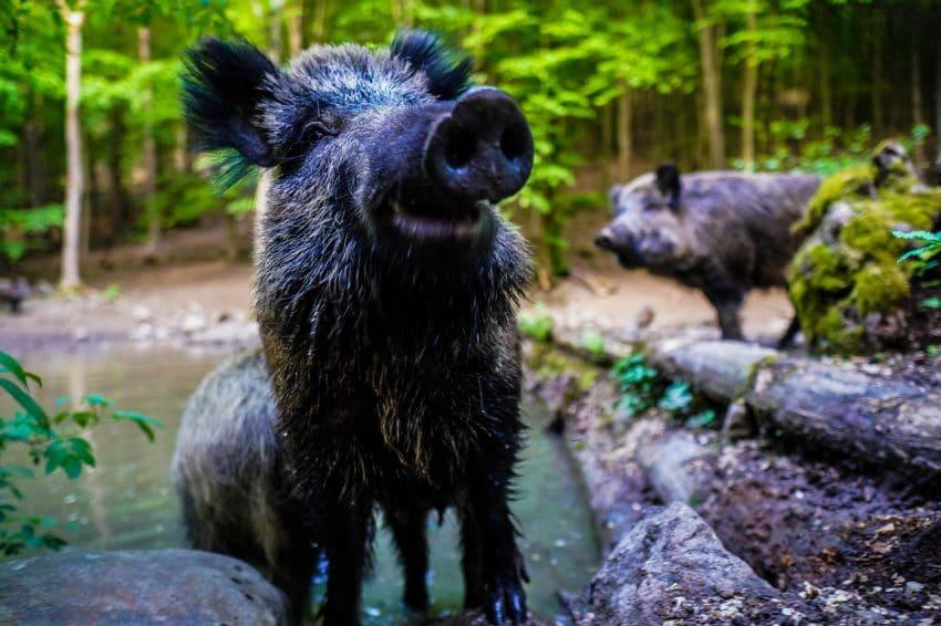 Pesta porcină confirmată pe un fond de vânătoare! 10 porci mistreți au fost găsiți morți