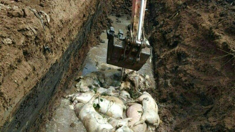 Pesta porcină confirmată la o mare fermă, 28.000 de porci vor fi sacrificați