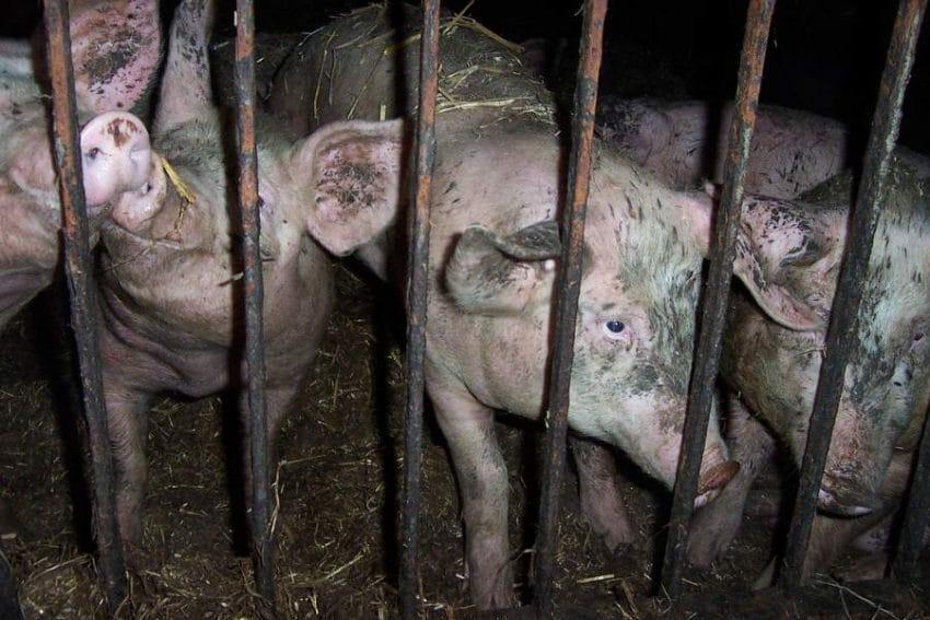 Fermă închisă din cauza pestei porcine. Zeci de mii de porci ucisi!