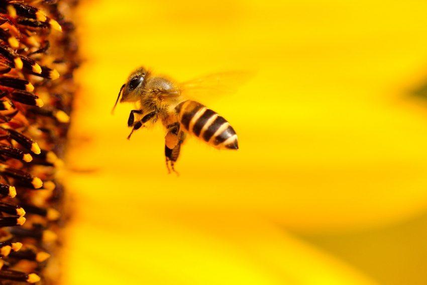 Nu sunt de vină neonicotinoidele! Adevărata problemă care provoacă MOARTEA albinelor