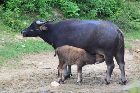 Ajutor pentru crescătorii de bivoli, care vor putea beneficia de sprijin cuplat și alte beneficii