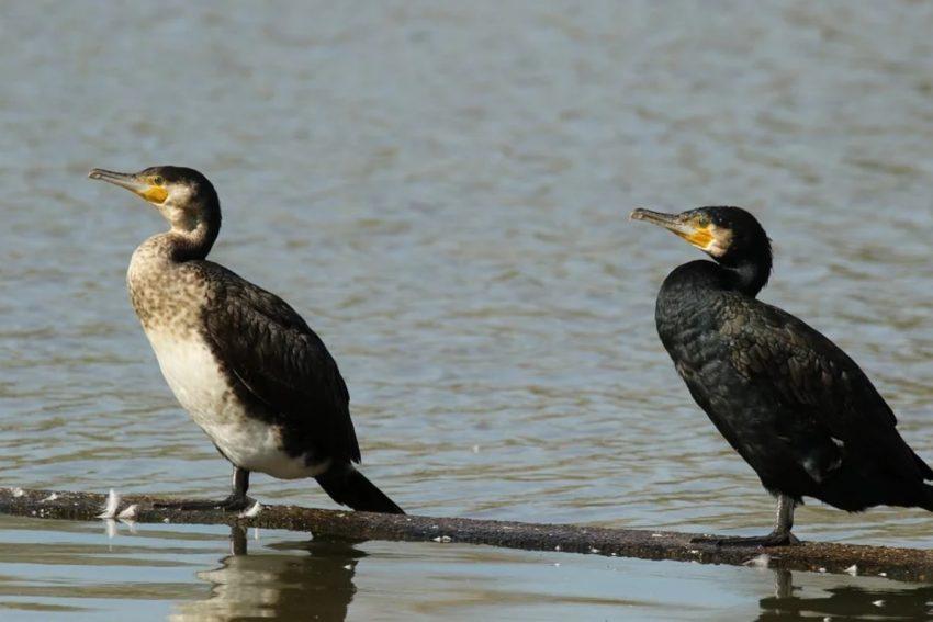 Fără despăgubiri pentru fermele piscicole din Natura 2000