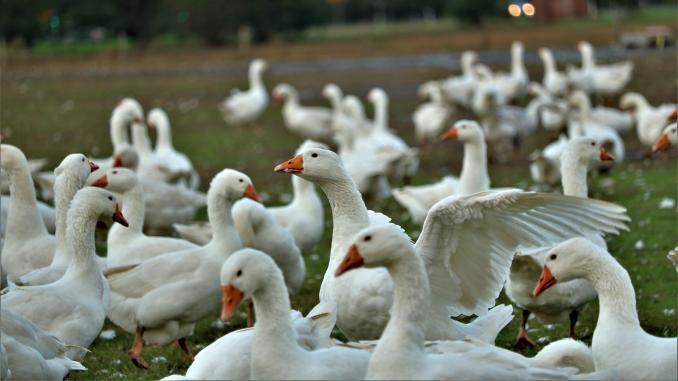 Aproximativ 30 de păsări ucise de gripa aviară (H5N8)
