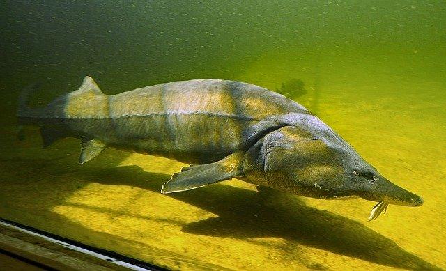 Interdicția de pescuit la sturion prelungită pentru încă 5 ani