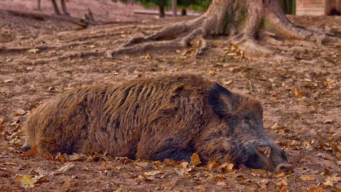 Atid, Harghita: virusul pestei porcine africane confirmat la un mistreț împușcat pe un fond de vânătoare